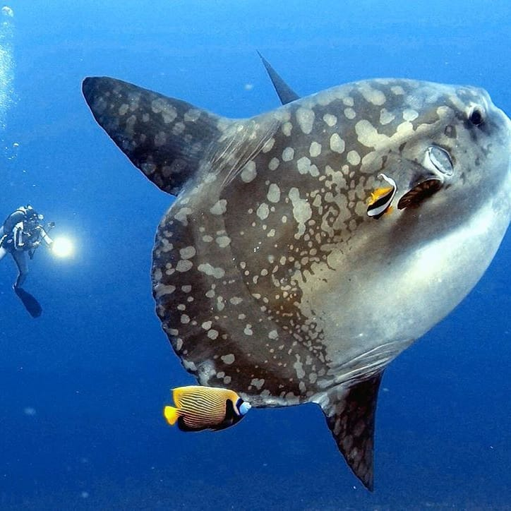 What to Know About Mola Mola Season in Bali